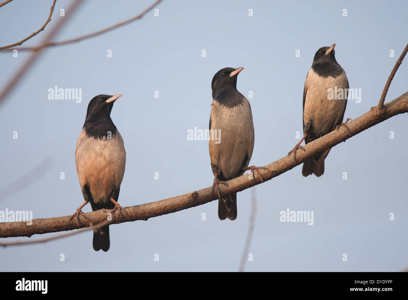The three rosy Starlings perched on a branch in a line in sync , almost like watching a tennis match at Bhandup - Stock Image