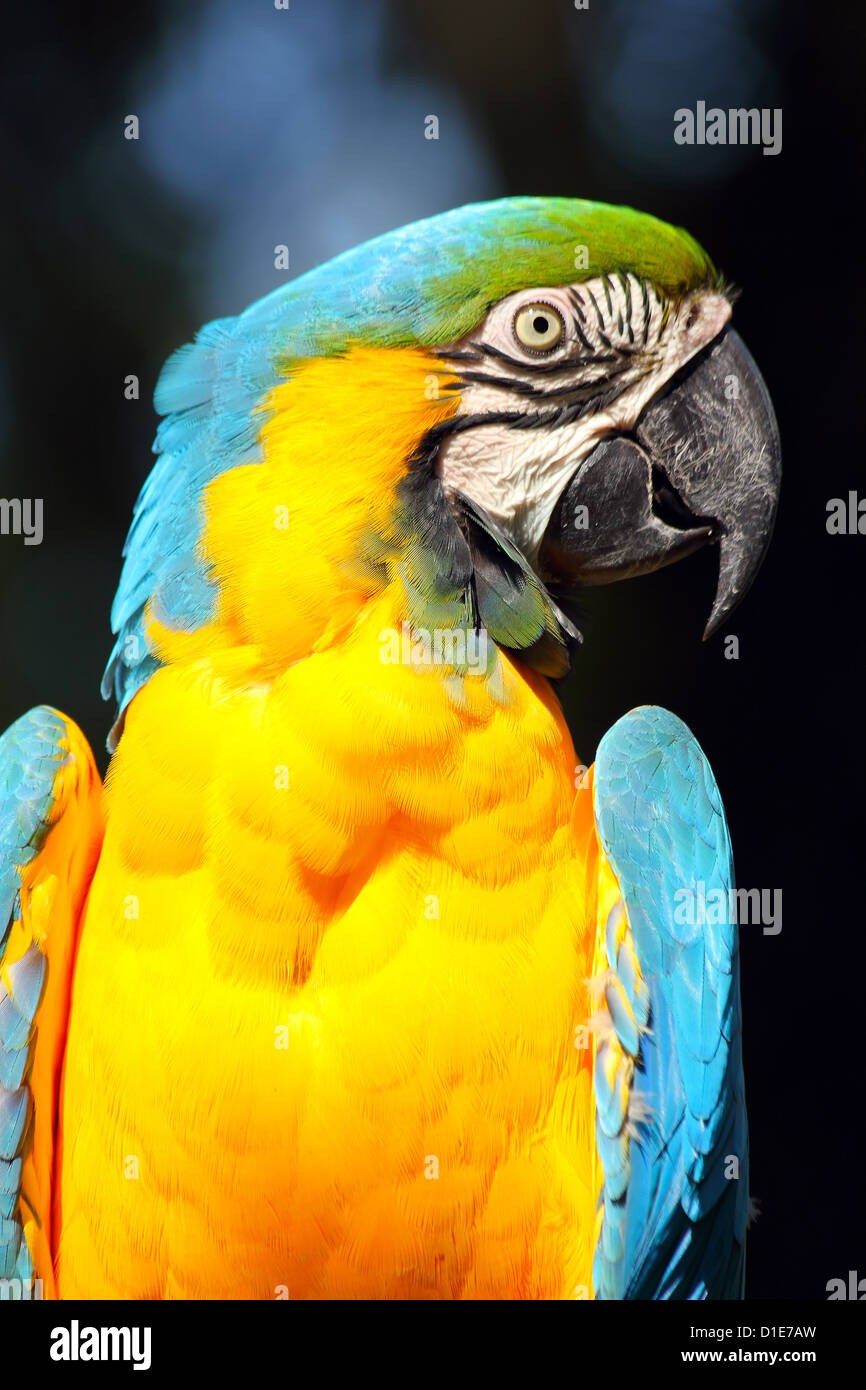 Blue and yellow macaw (blue and gold macaw) (Ara ararauna) in captivity, United Kingdom, Europe Stock Photo