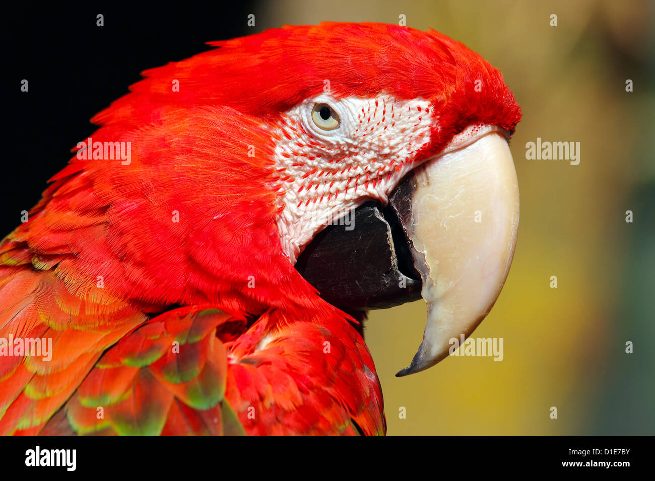 Red-and-green macaw (Ara chloropterus), is a large macaw of the Ara genus, in captivity in the United Kingdom, Europe - Stock Image