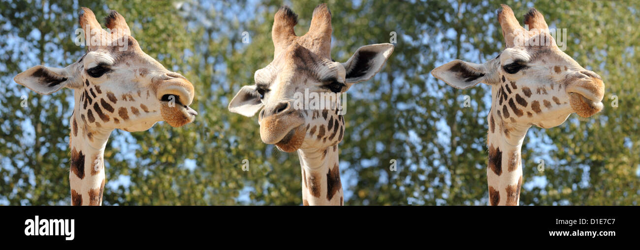 Species of giraffe has nine subspecies, in captivity, United Kingdom, Europe - Stock Image