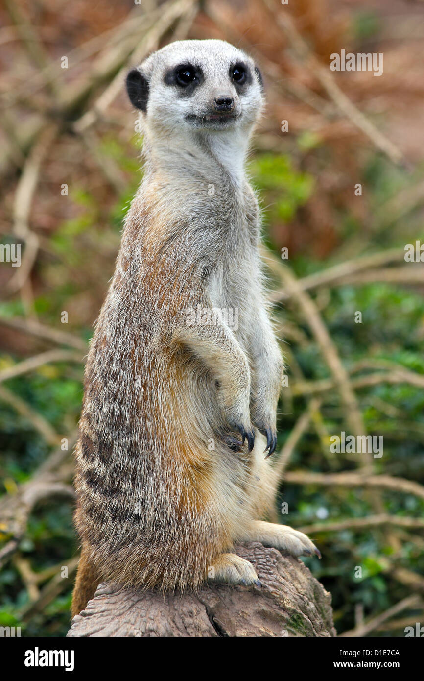 Meerkat (Suricata suricatta). a small mammal belonging to the mongoose family, in captivity, United Kingdom, Europe - Stock Image