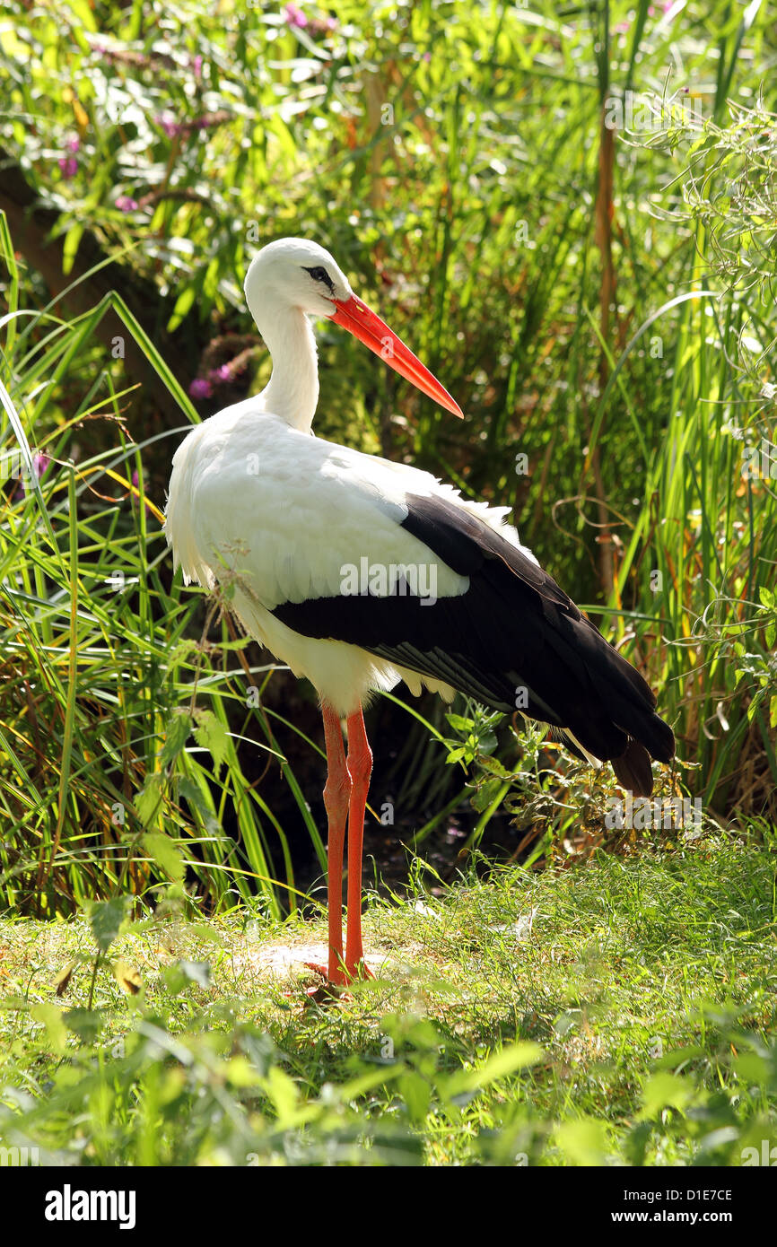 White stork (Ciconia ciconia), a large bird in the stork family Ciconiidae, in captivity, United Kingdom, Europe - Stock Image