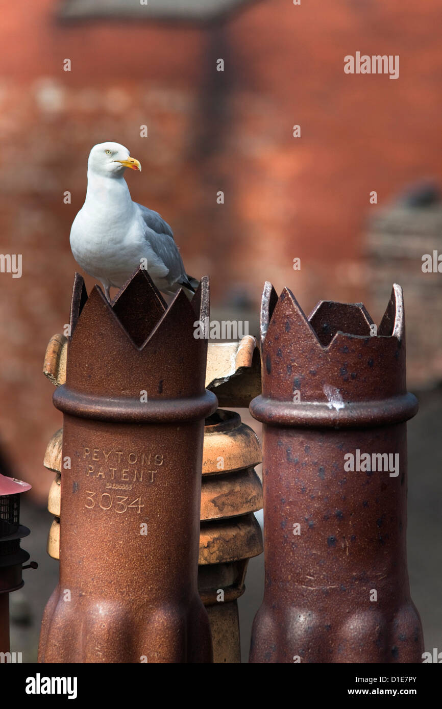 Herring gull (Larus argentatus) on chimney pots in city, Newcastle, England, United Kingdom, Europe - Stock Image