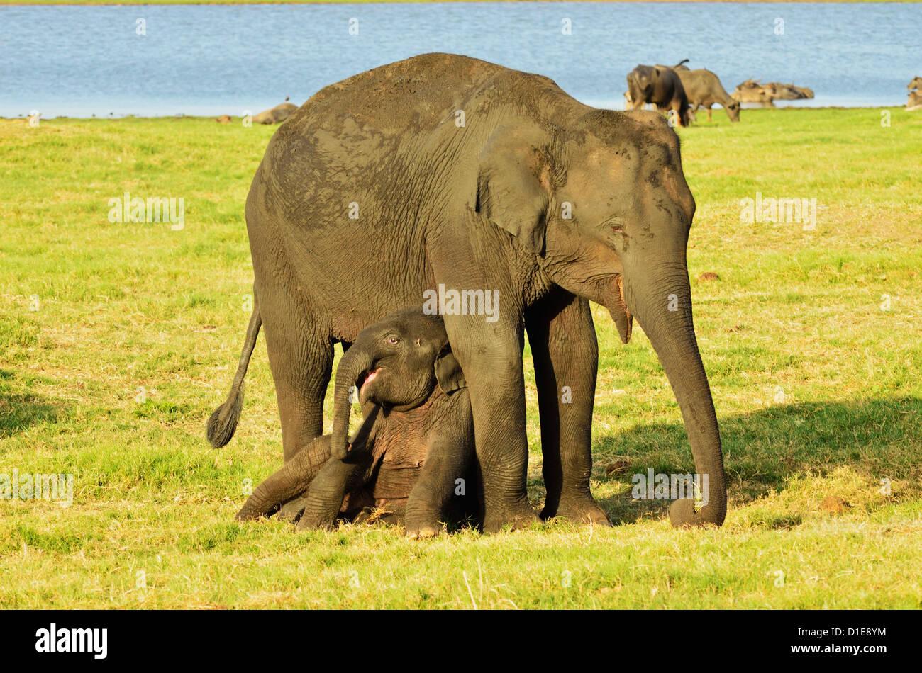Sri Lankan elephant (Elephas maximus maximus), Minneriya National Park, Sri Lanka, Asia - Stock Image