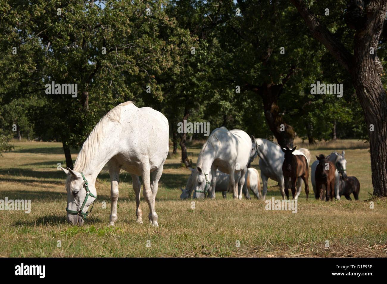 Lipizaner horses in the world famous Lipizaner horses farm, Lipica, Slovenia, Europe - Stock Image
