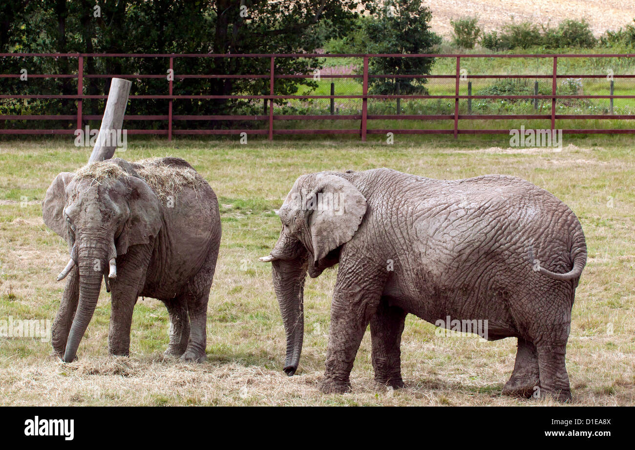 African elephants at Howletts Wild Animal Park - Stock Image