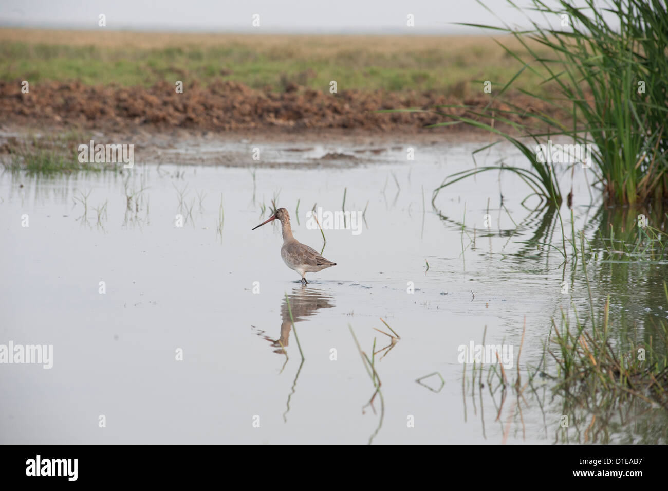 Marsh sandpiper wading in the shallow wetland waters at the edge of Chilika Lake, Orissa, India, Asia - Stock Image