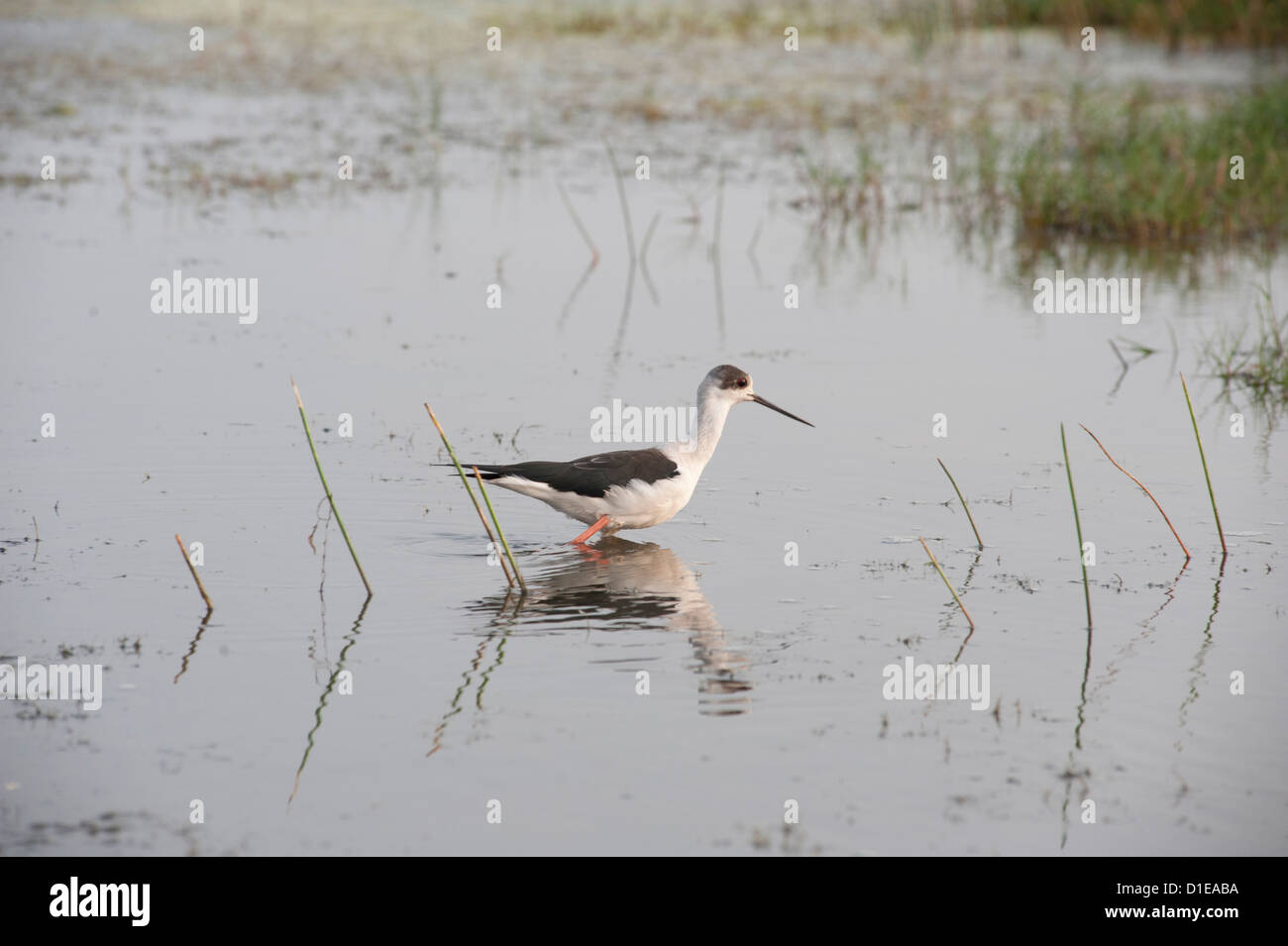 Black winged stilt wading in the shallow wetland waters at the edge of Chilika Lake, Orissa, India, Asia - Stock Image