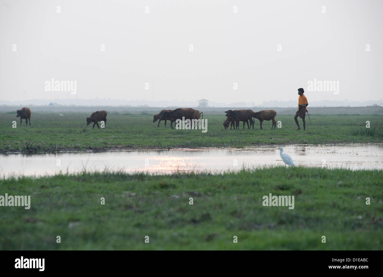 Cowherd bringing cattle in at dusk, white ibis in the foreground, wetlands around Chilika Lake, Orissa, India, Asia - Stock Image