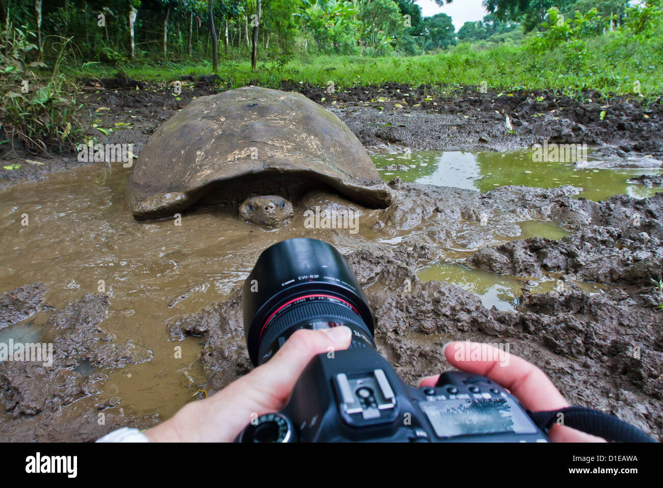 Wild Galapagos tortoise (Geochelone elephantopus), Santa Cruz Island, Galapagos Islands, Ecuador, South America Stock Photo