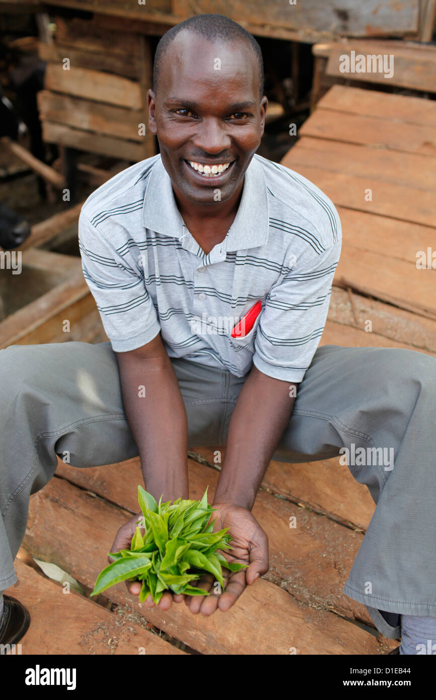 David Mucangi Mbogoh showing tea leaves on a farm he runs, Kathangiri, Kenya, East Africa - Stock Image