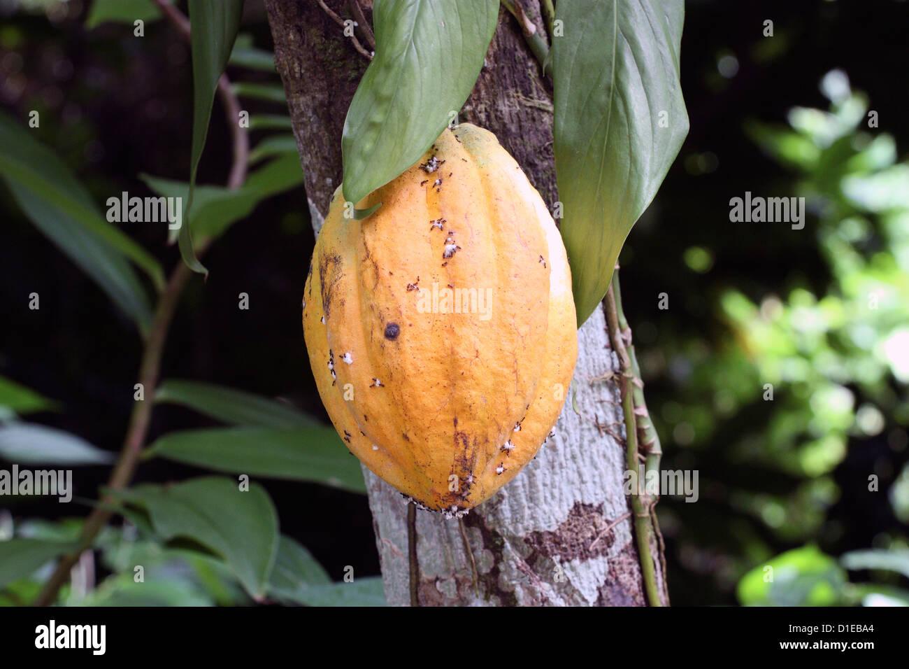 Grenada. Close-up of growing Cocoa bean pod. - Stock Image