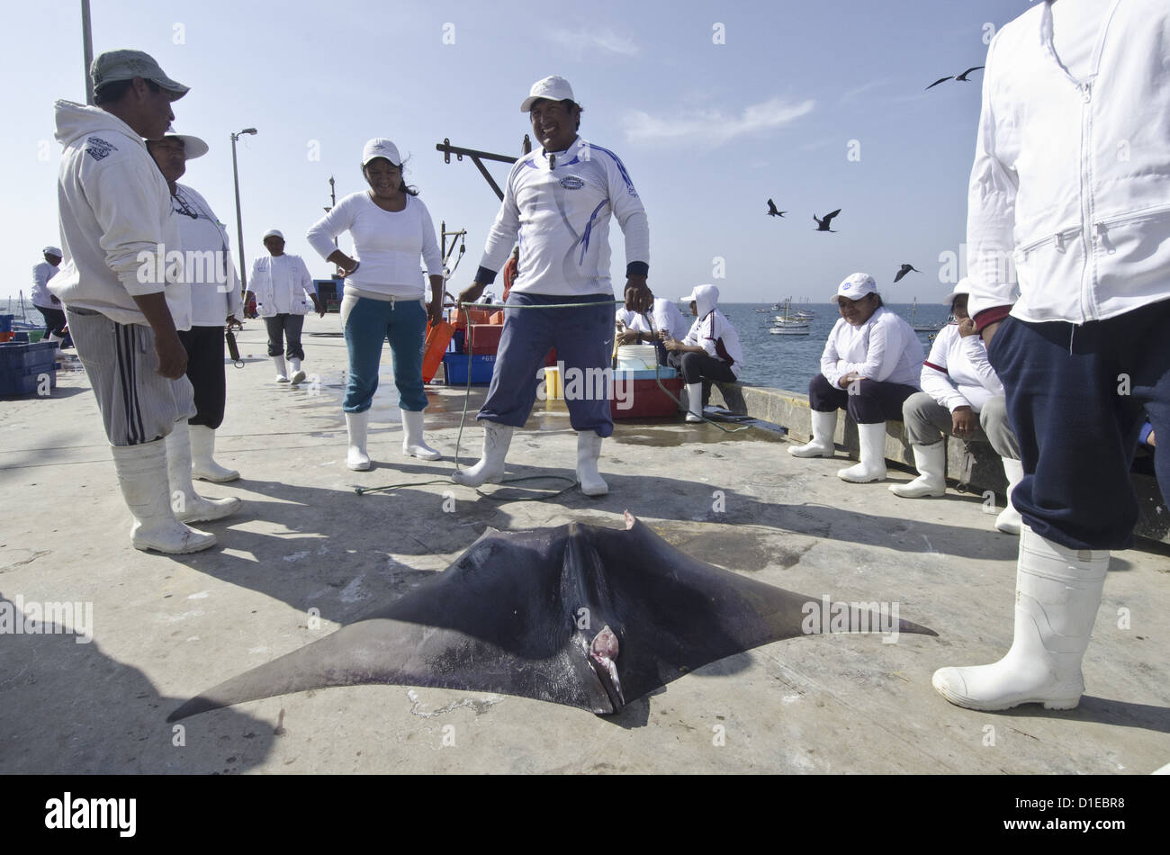 Peruvian mobula catch in the artesanal fishery in Peru, the fisheries are well funded by the Peruvian government, - Stock Image