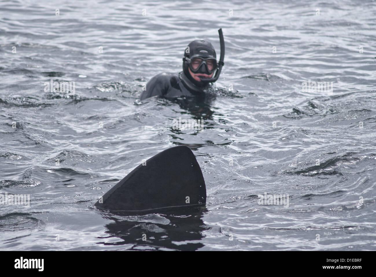 Diver approached by basking shark (Cetorhinus maximus), Hebrides, Scotland, United Kingdom, Europe - Stock Image