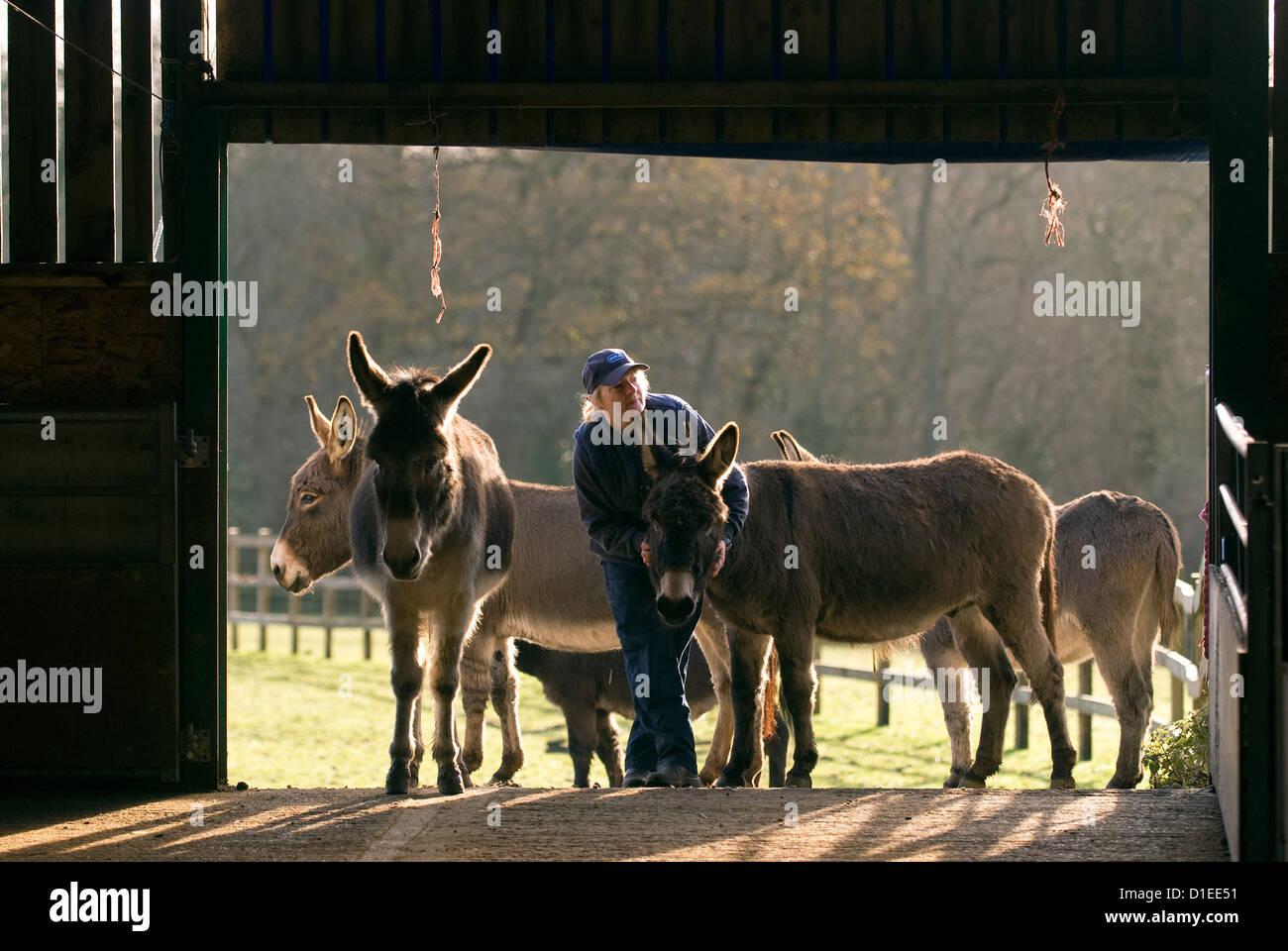 RSPCA worker at a donkey sanctuary, Surrey, UK. - Stock Image