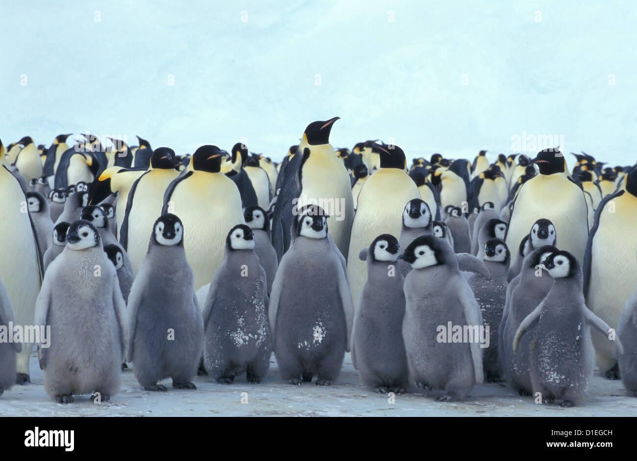 Emperor penguins (Aptenodytes forsteri), Dawson-Lambton glacier, Antarctica - Stock Image