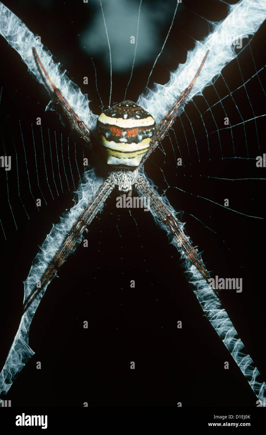 Multi-coloured orb weaver spider female (Argiope versicolor: Araneidae) in her web rainforest, Sumatra. - Stock Image