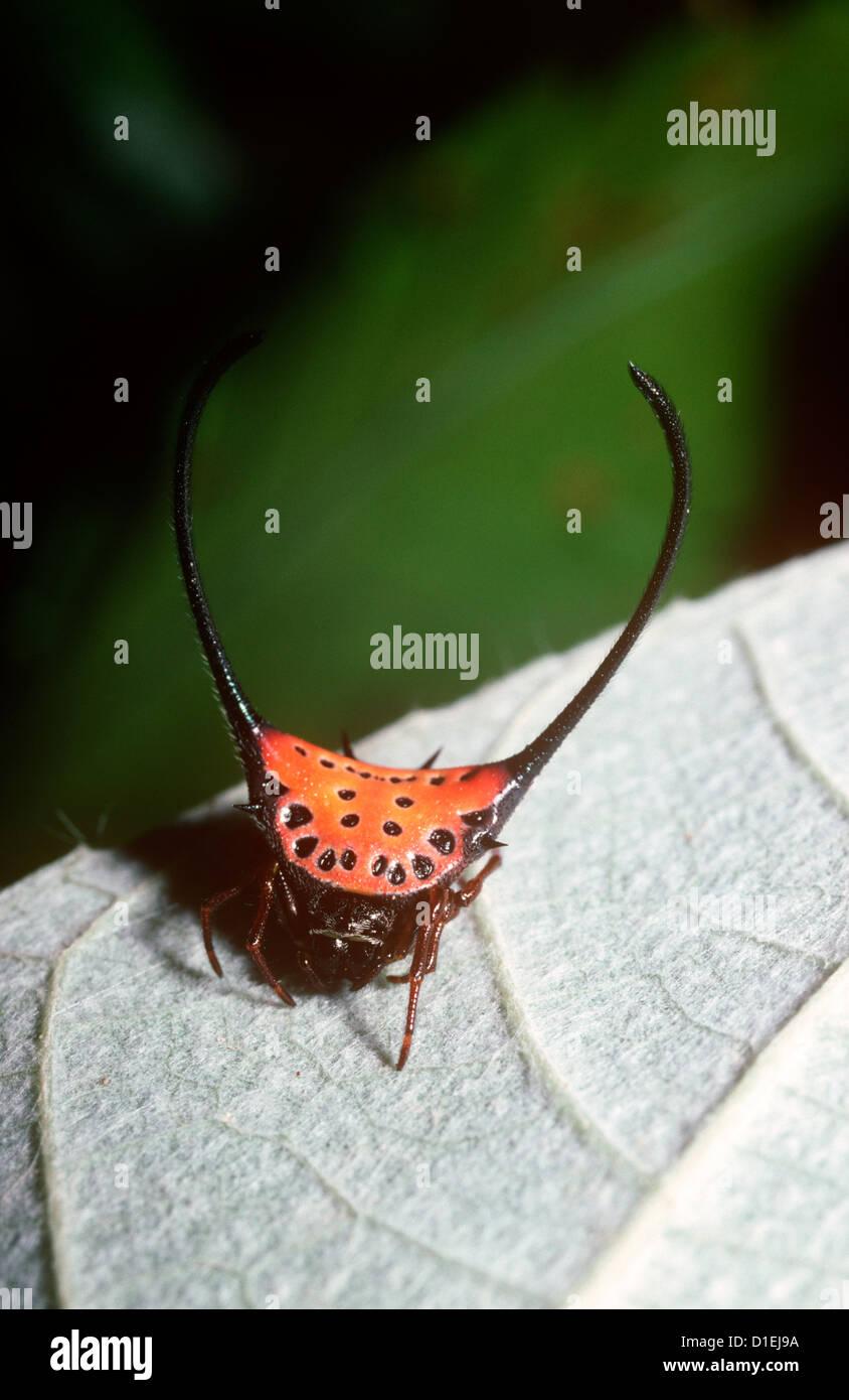 Long-horned orb-weaver spider (Gasteracantha arcuata: Araneidae) female in rainforest, Sumatra - Stock Image