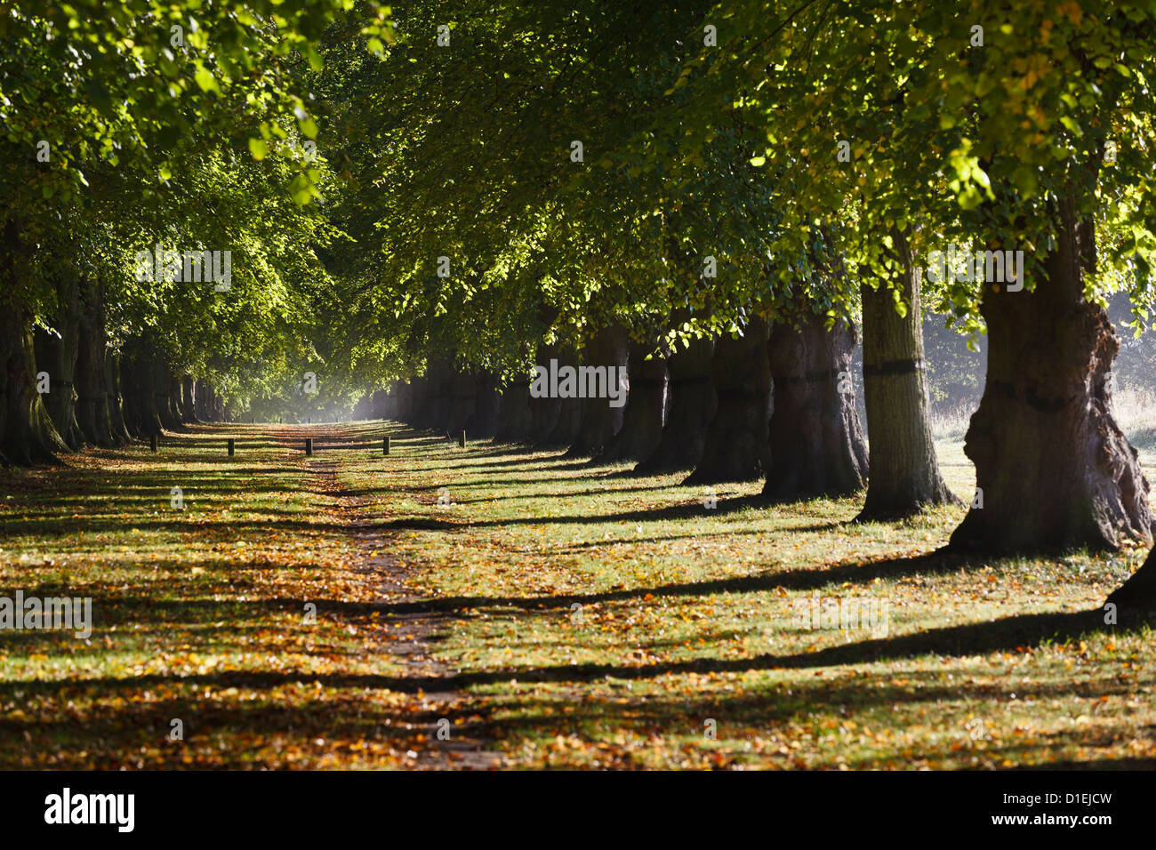 The Lime Tree Avenue, Clumber Park, Nottinghamshire - Stock Image
