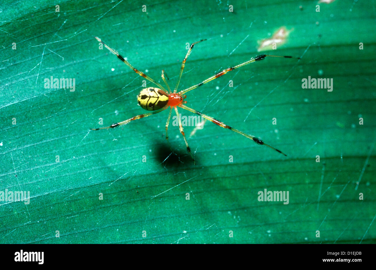 Comb-footed spider (Chrysso vesiculosa / jianglensis: Theridiidae) in rainforest, Thailand - Stock Image