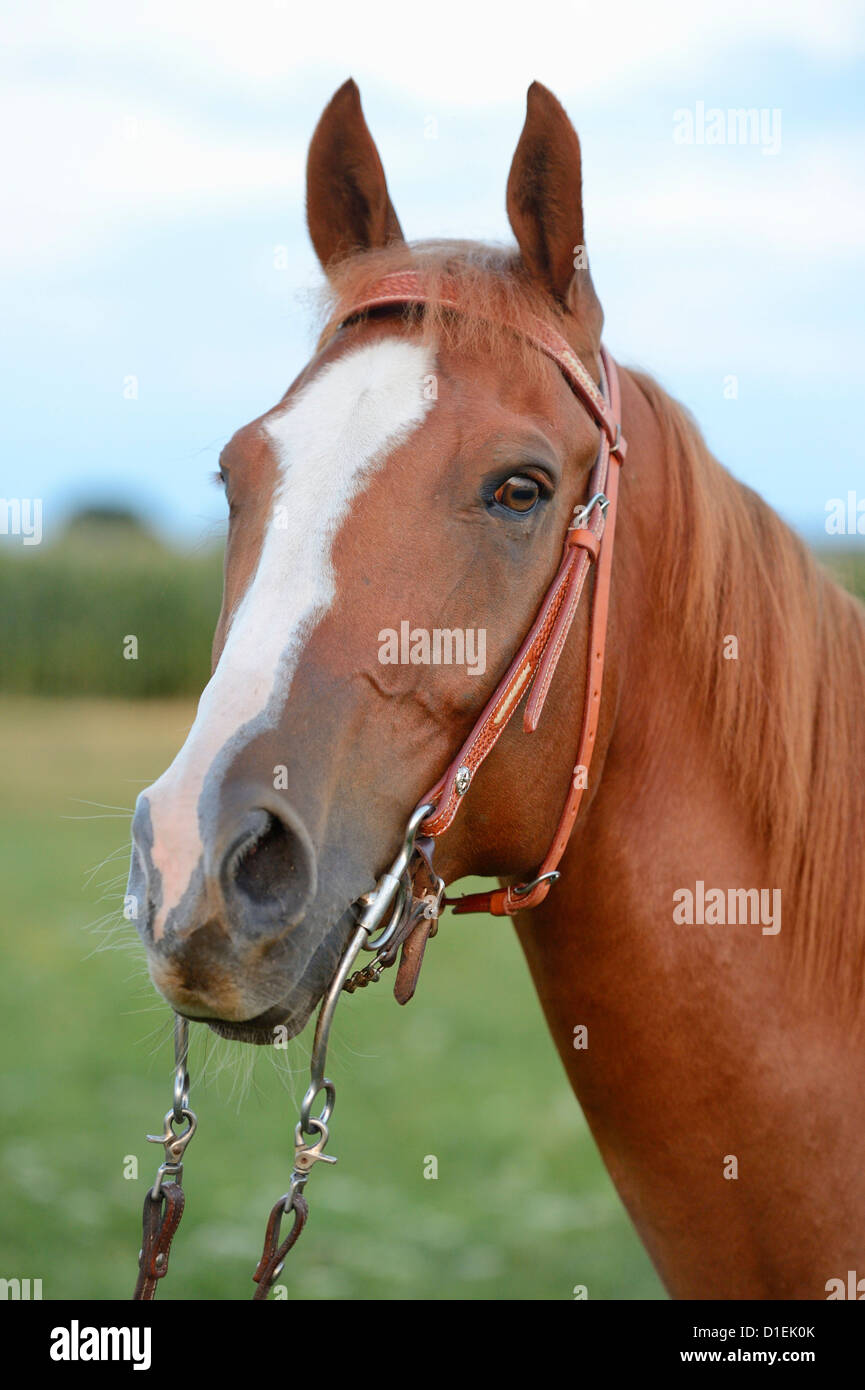 Solid Paint Bred Horse, portrait - Stock Image