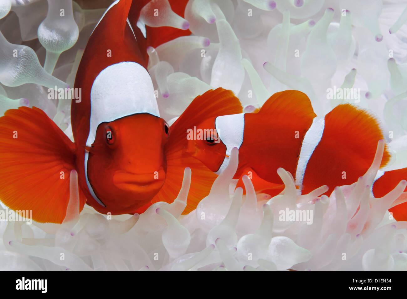 Two Maroon Clownfish (Premnas biaculeatus) in white anemone, Vitu ...
