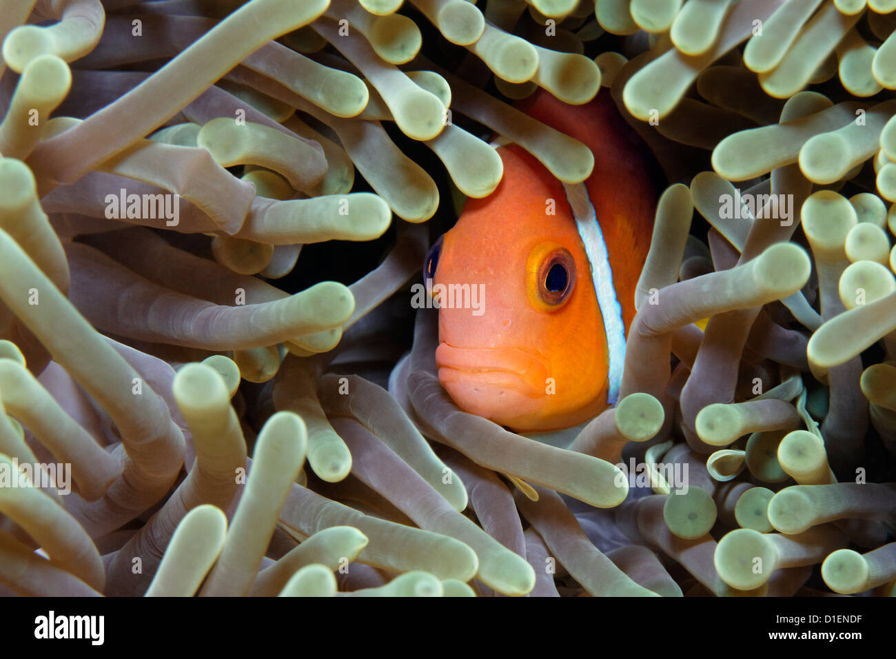 Maldive anemonefish (Amphiprion nigripes) hiding in an anemone at Baa Atoll, Maldives, underwater shot - Stock Image