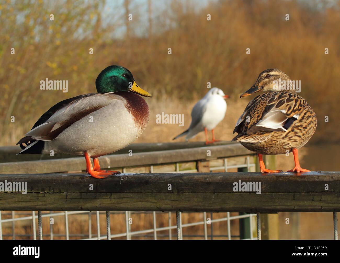 mallard ducks perched on fence - Stock Image