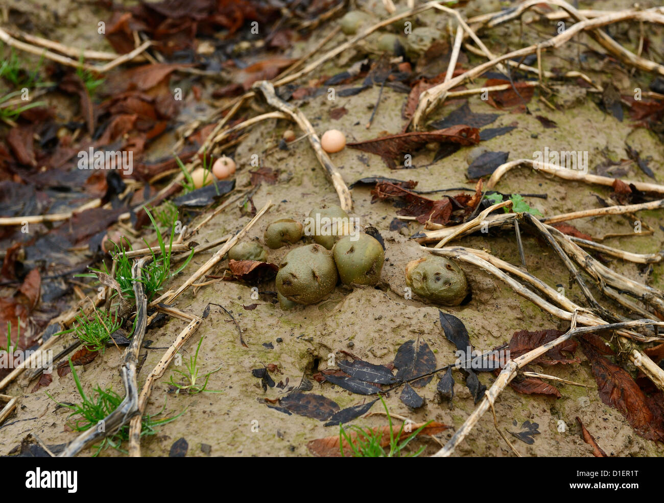 Rotten potato crop due to the wet UK weather - Stock Image