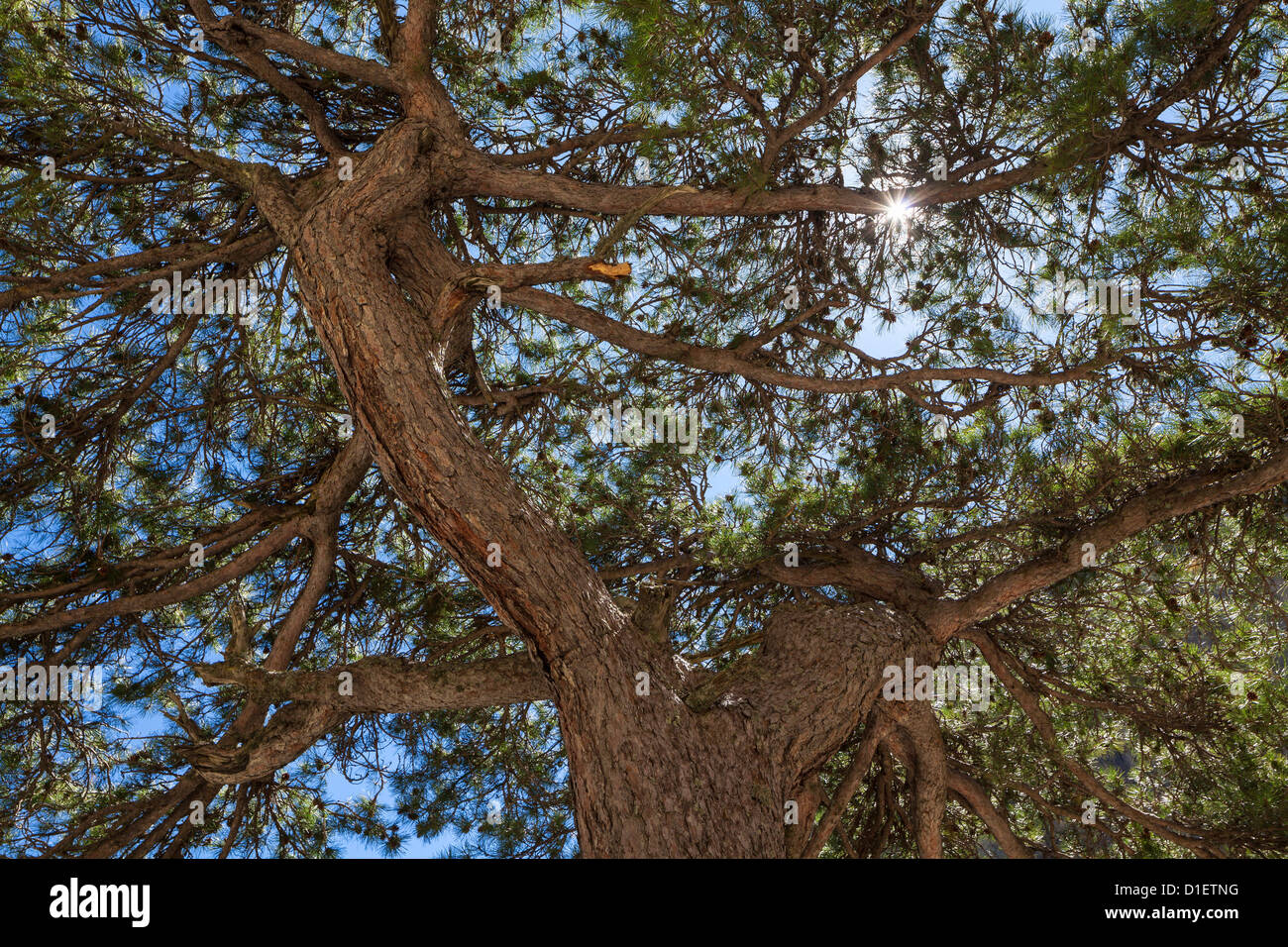 Pine tree in the Restonica Valley, Corsica, France - Stock Image