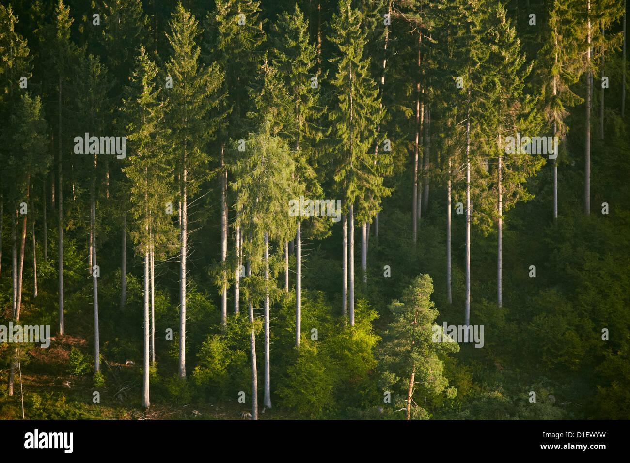 Conifer forest near Sigmaringen, Baden-Wuerttemberg, Germany, aerial photo Stock Photo