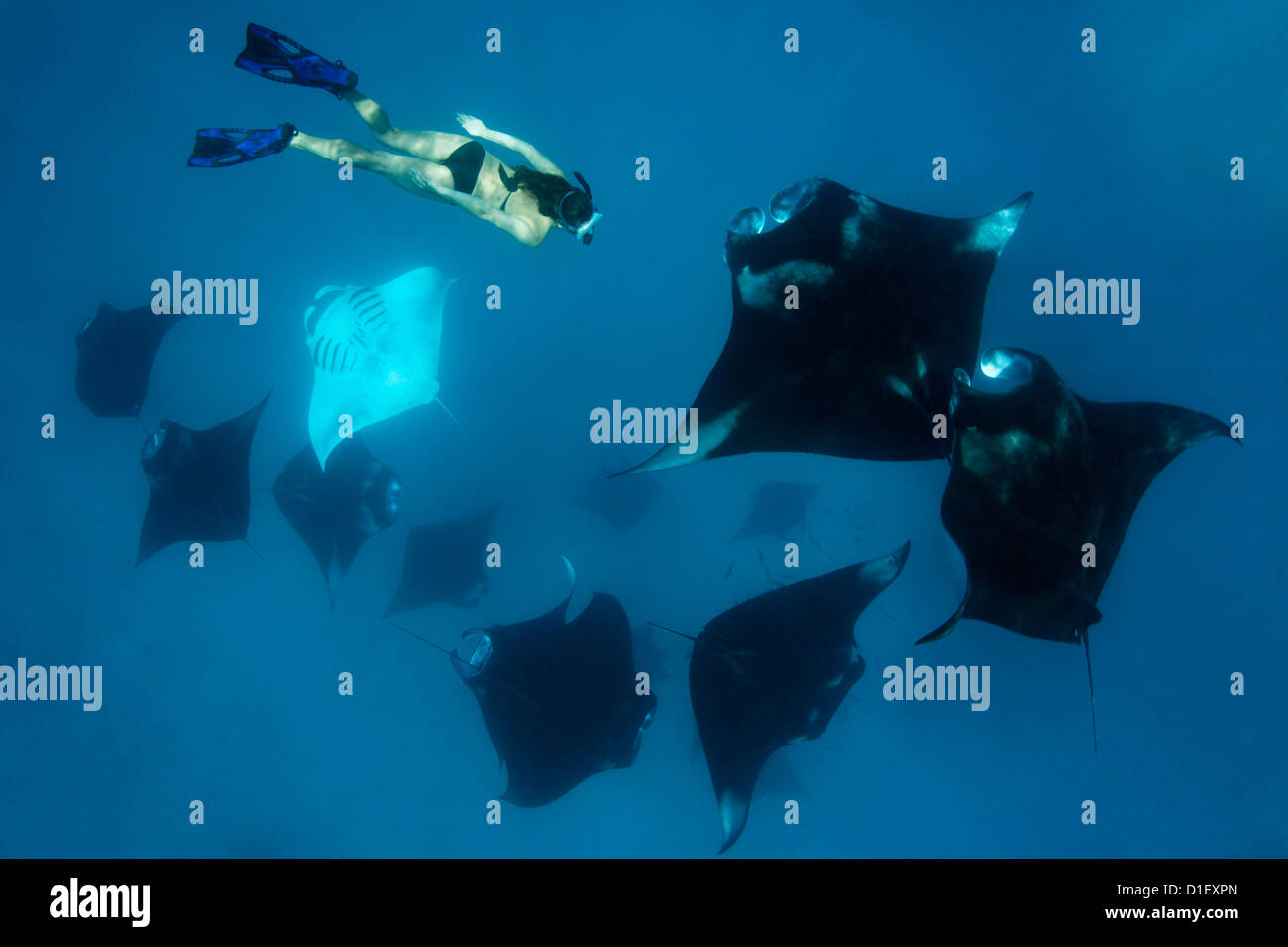 Woman with group of reef mantas (Manta alfredi), Baa Atoll, Maldives, Indian Ocean, underwater shot - Stock Image