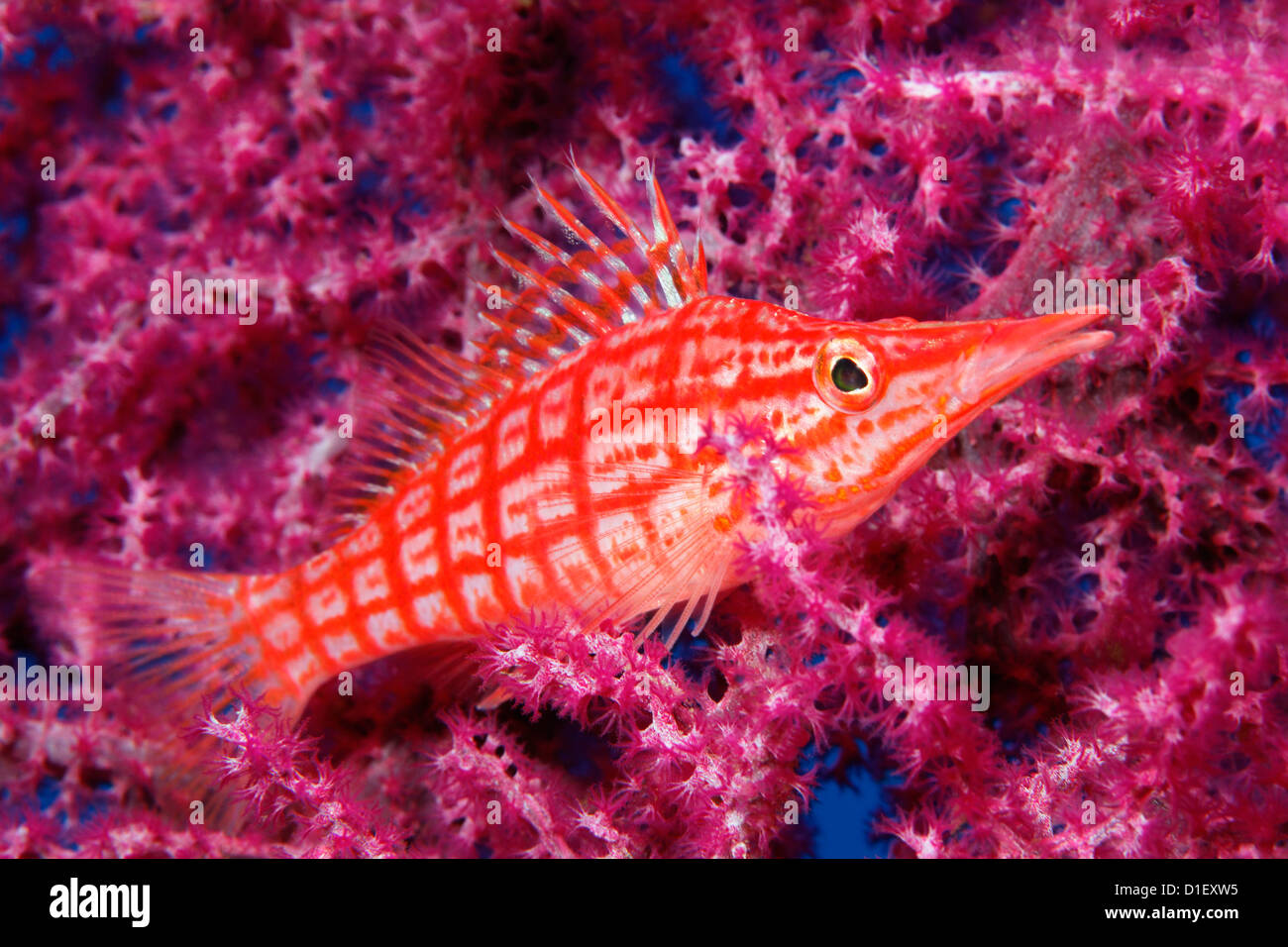 Longnose Hawkfish (Oxycirrhites typus) on coral near Tulamben, Bali, Indonesia, Pacific Ocean, underwater shot - Stock Image