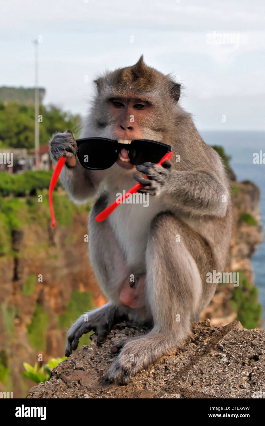 Monkey with stolen sunglasses at temple Pura Luhur Uluwatu, near Jimbaran, Bali, Indonesia Stock Photo