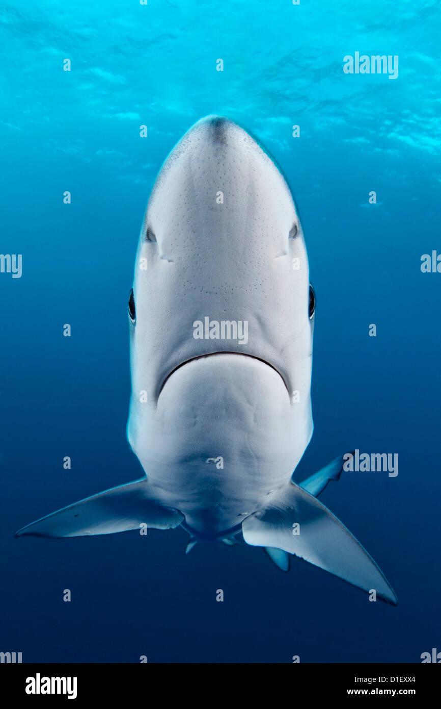 Blue Shark (Prionace glauca), Cape Point, Cape Town, South Africa, Atlantic Ocean, Indian Ocean, underwater shot Stock Photo