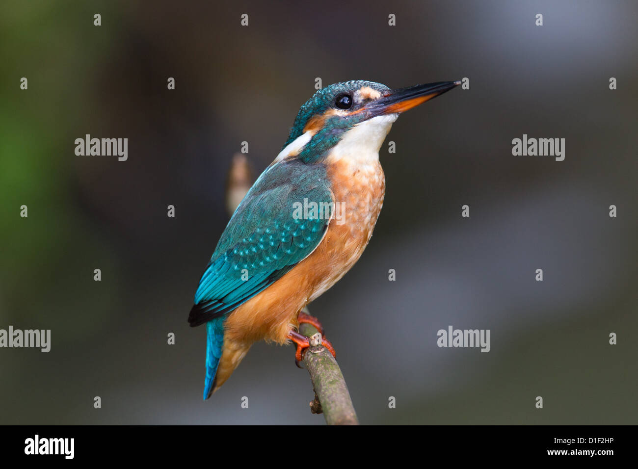 Common Kingfisher (Alcedo atthis) on a twig - Stock Image