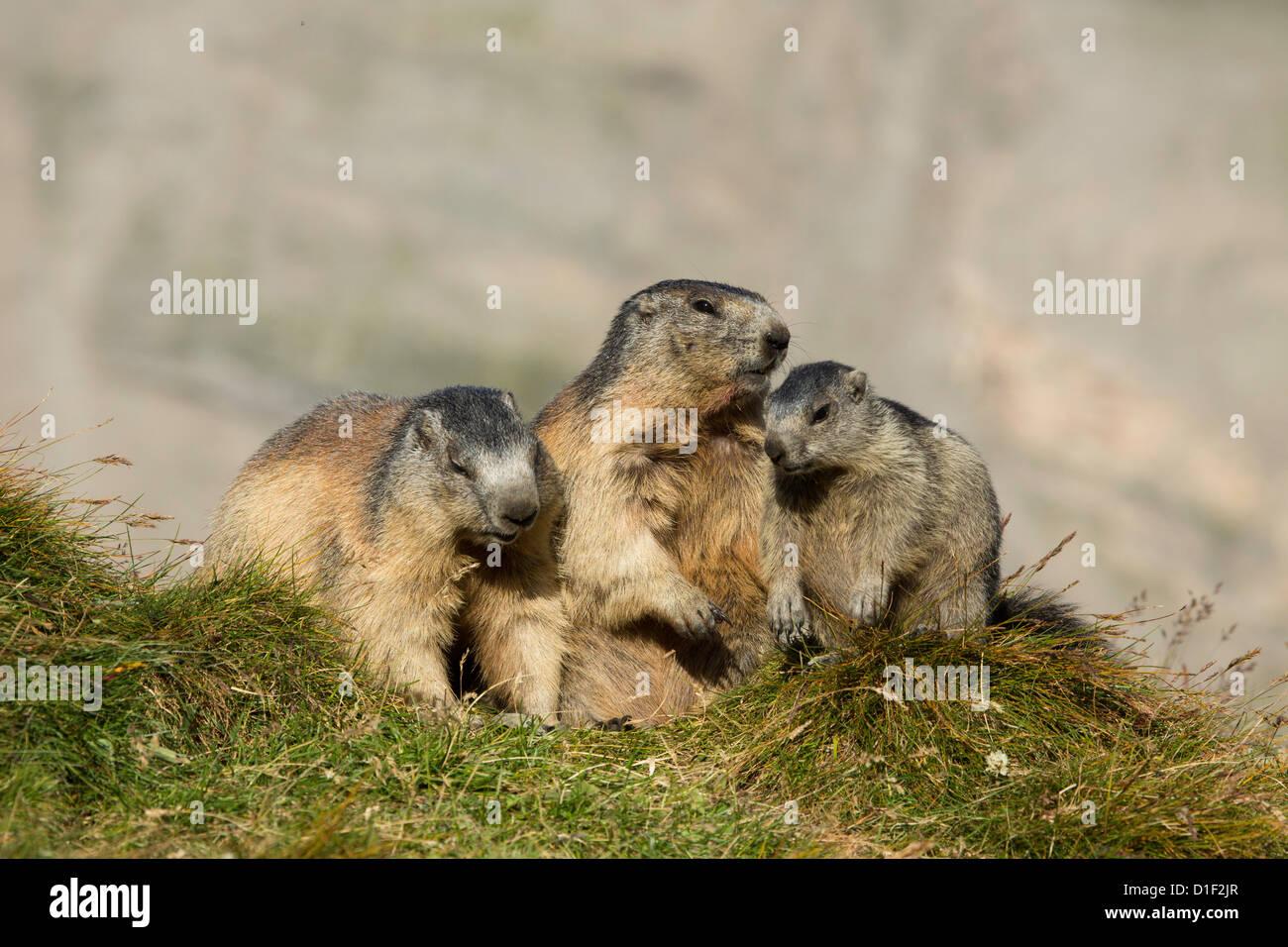 Three Alpine marmots (Marmota marmota) - Stock Image