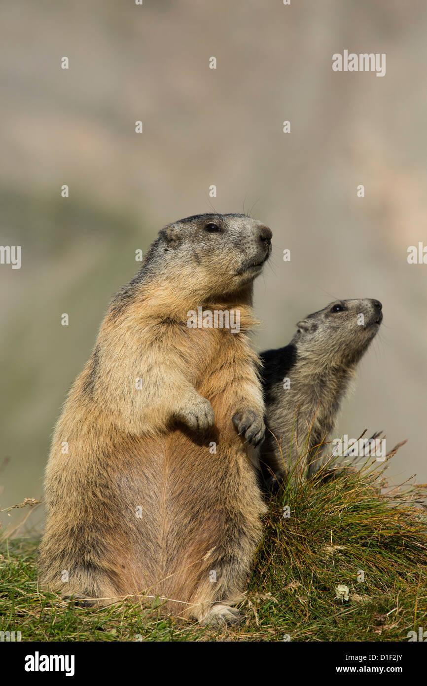 Two Alpine marmots (Marmota marmota) - Stock Image