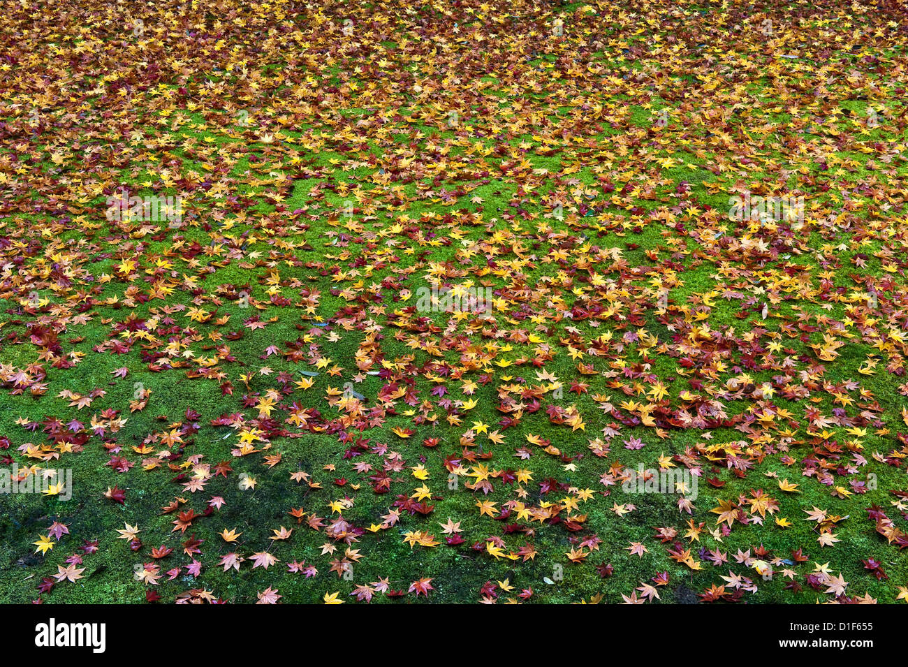 Koto-in Temple, Daitoku-ji, Kyoto, Japan. In autumn, fallen maple leaves cover the moss that surrounds the temple - Stock Image