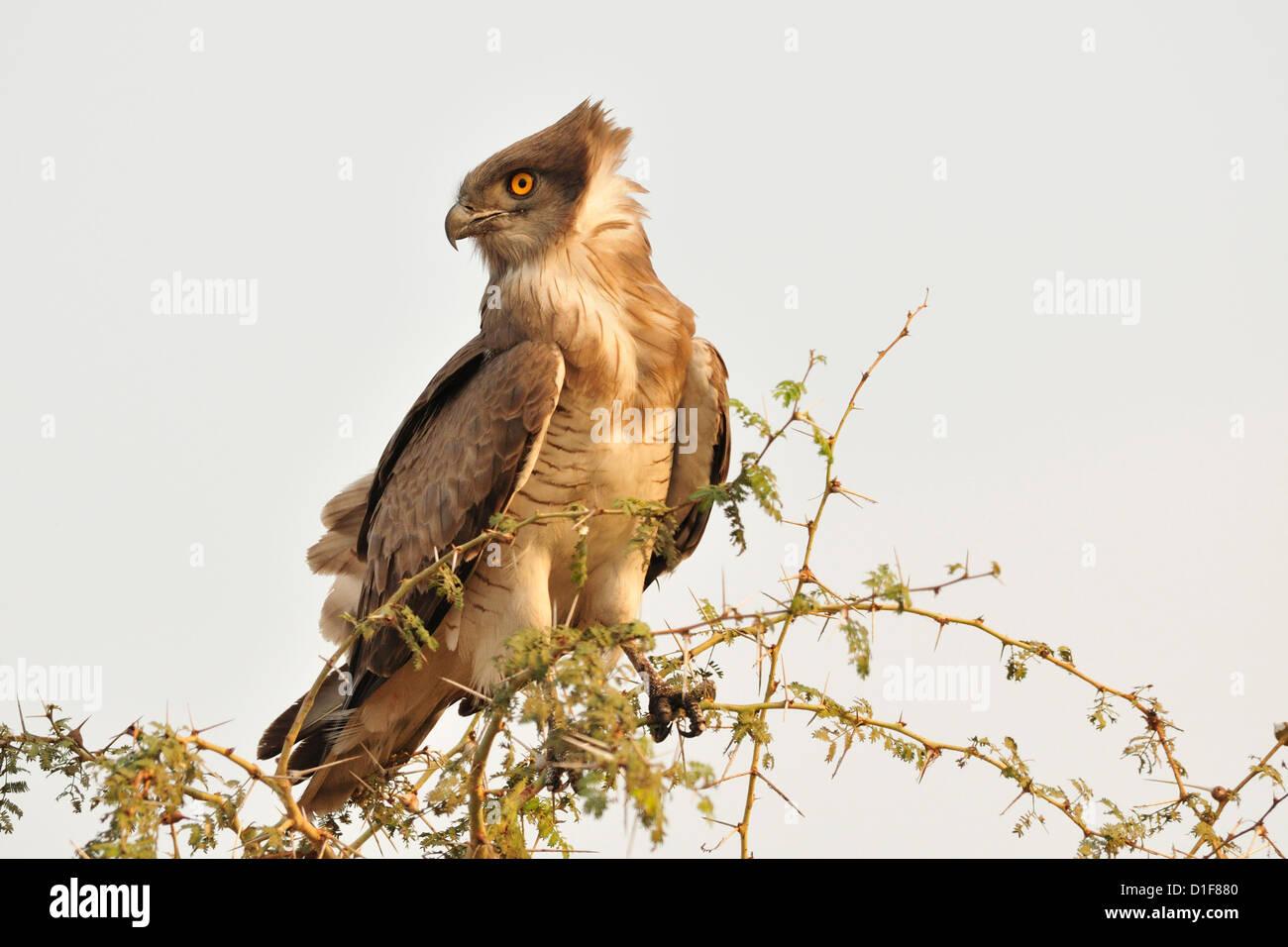 Snakes Eagle, Circaetus cinerascens, Gambella National Park, Ethiopia, Africa - Stock Image