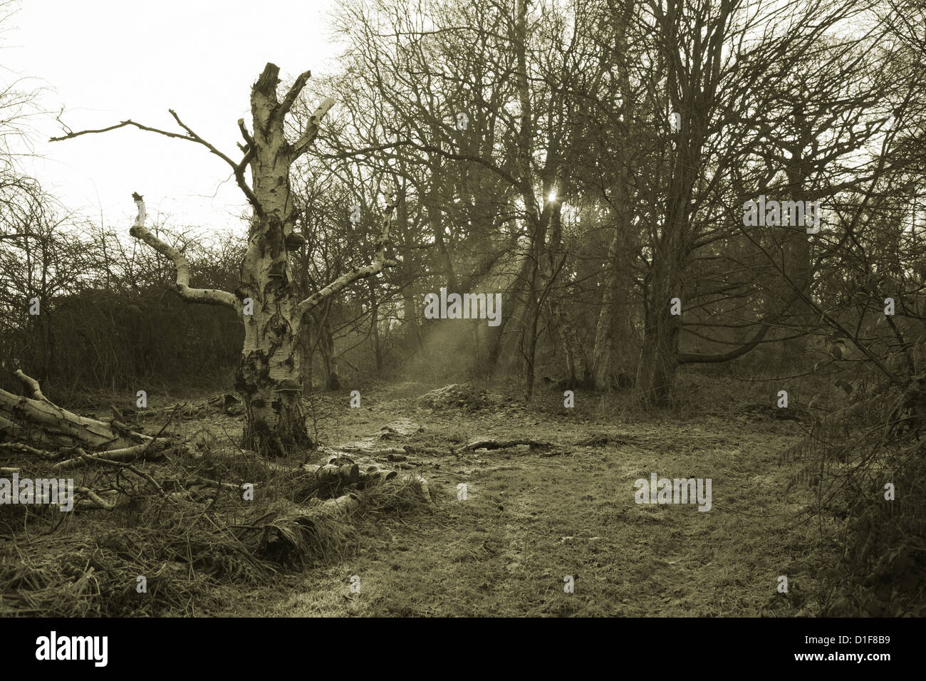 Lightening struck tree with rays of light passing through it - Stock Image