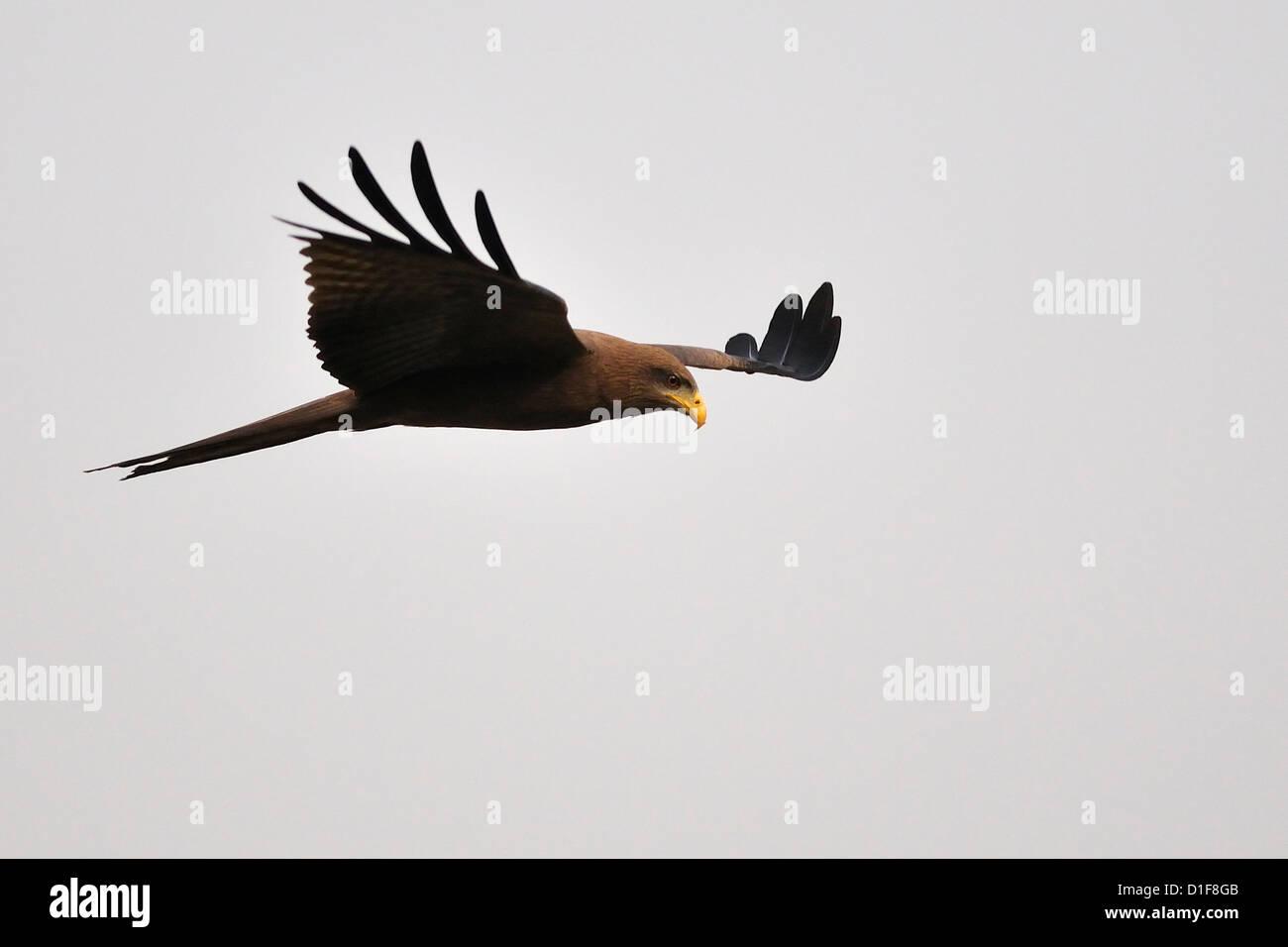 Black Kite Milvus migrans, Accipritidae, Gambella National Park, Ethiopia, Africa Stock Photo