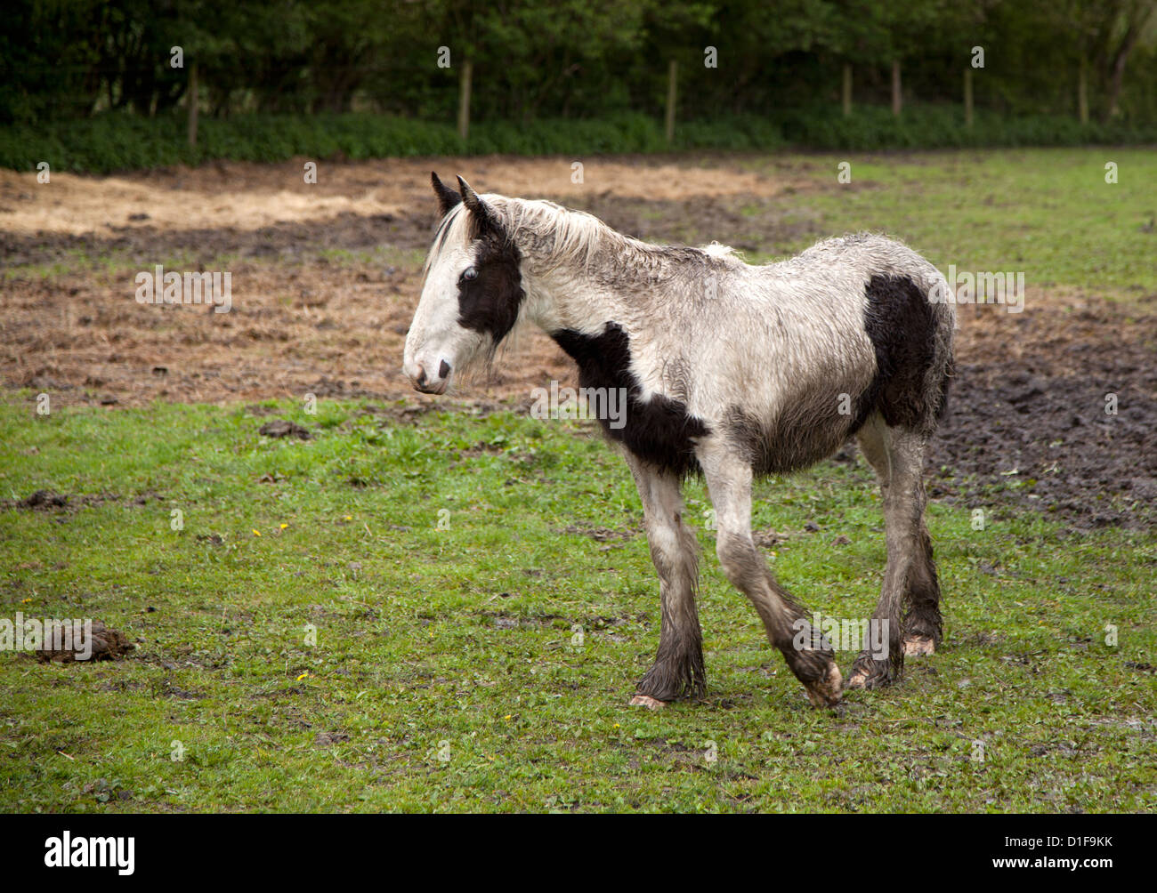 Wet ponies horses stood in a field - Stock Image