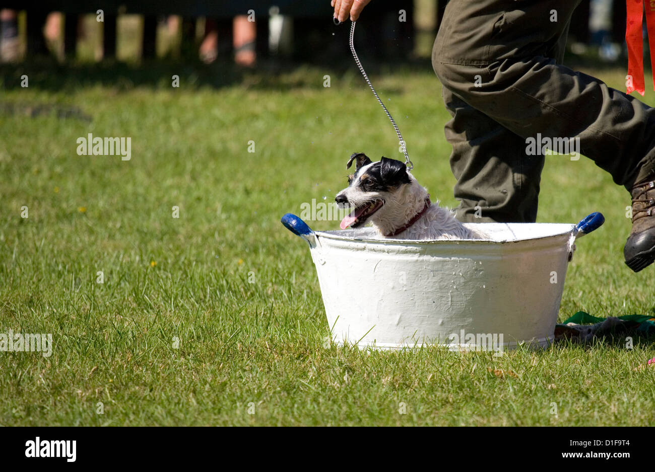 Jack russell Single adult in a bath tub UK - Stock Image