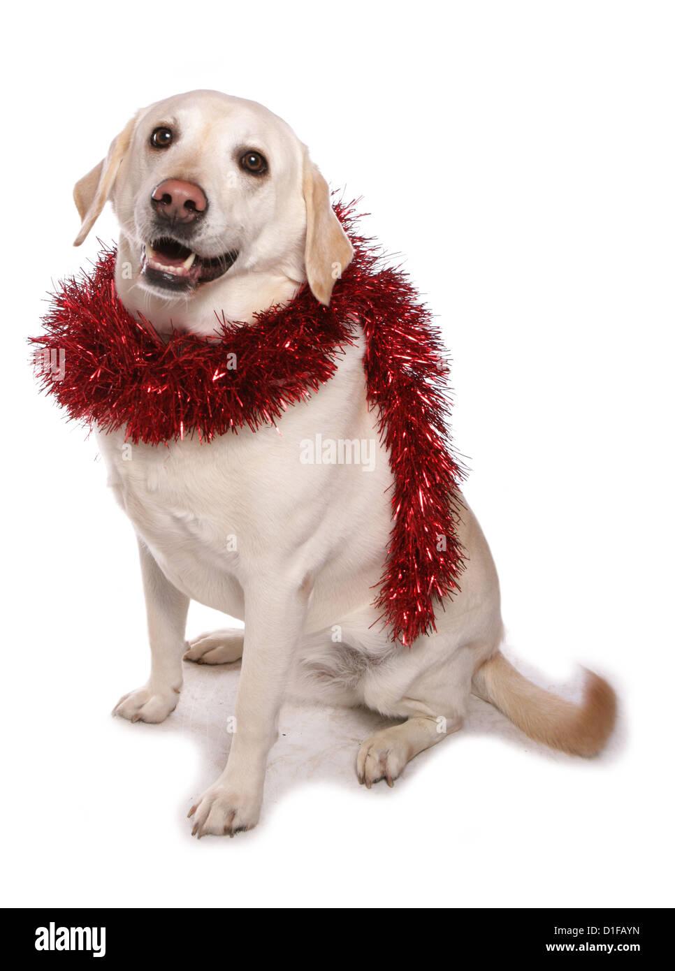Labrador single adult with christmas tinsel Studio, UK - Stock Image