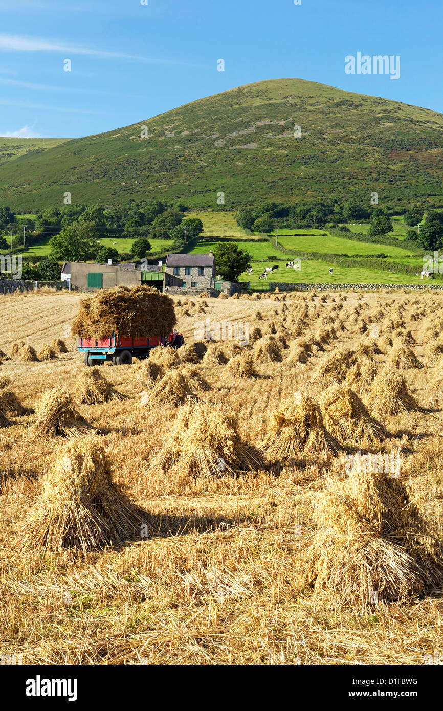 Oat stooks, Knockshee, Mourne Mountains, County Down, Ulster, Northern Ireland, United Kingdom, Europe - Stock Image