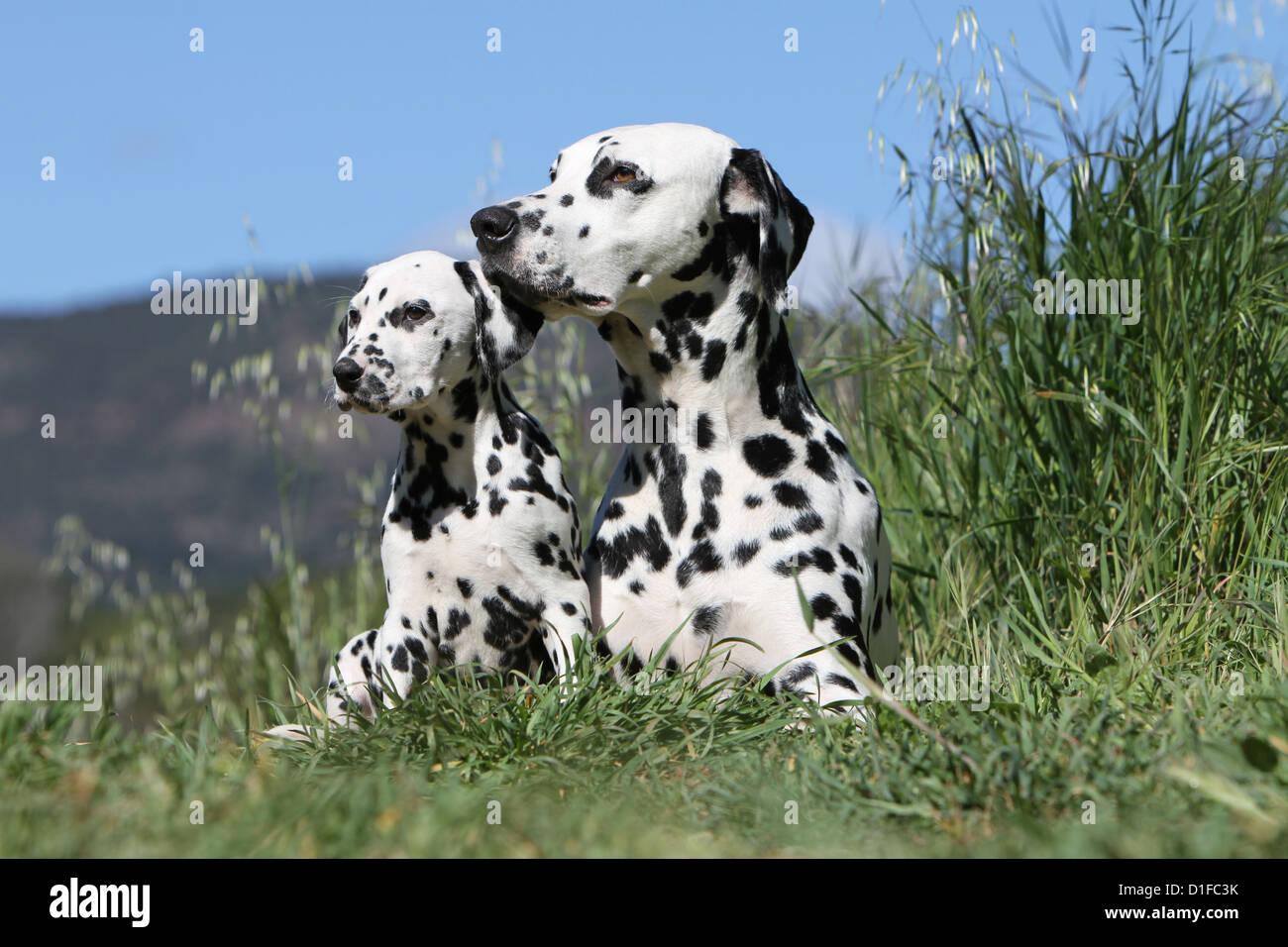 Dog Dalmatian / Dalmatiner / Dalmatien adult and puppy - Stock Image