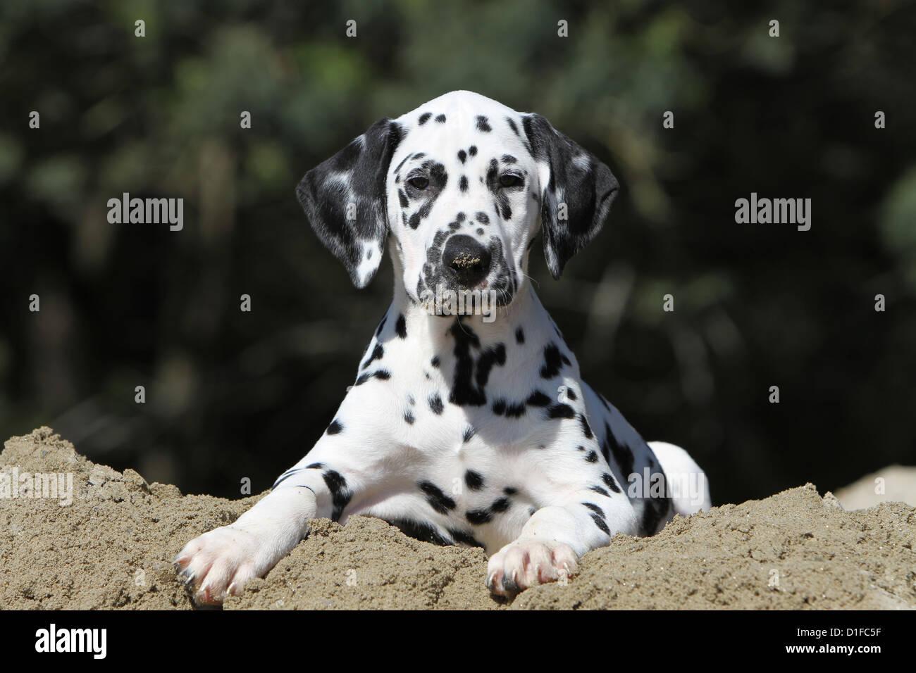 Dog Dalmatian / Dalmatiner / Dalmatien puppy lying on the ground - Stock Image