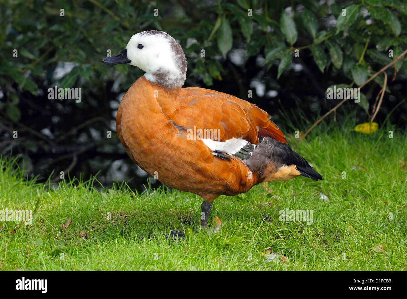 South African Shelduck (Tadorna cana) part of the bird family Anatidae, South Africa, in captivity in the United - Stock Image