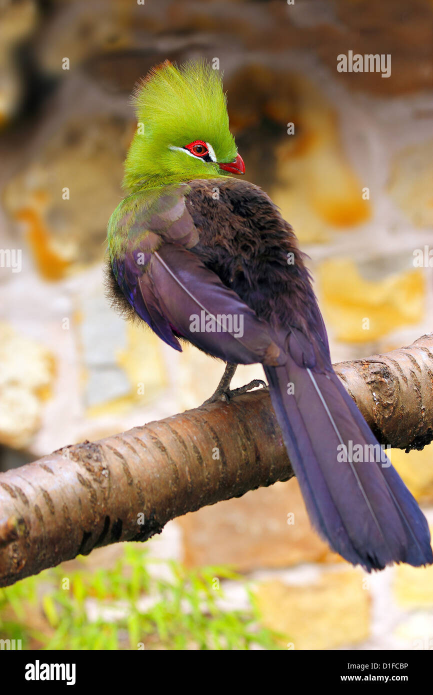 Livingstone's Turaco (Tauraco livingstonii), living in the lowlands of southeast Africa, in captivity in the United Stock Photo